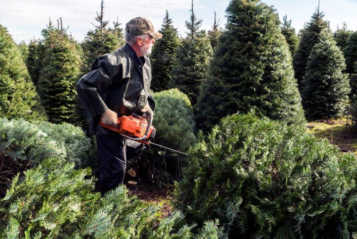 Medium | nside Track: A Christmas Tree's Journey - cutting trees