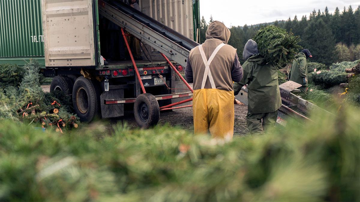 Original | Inside Track: A Christmas Tree's Journey - loading trees